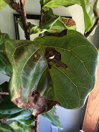 bacterial leaf spot fiddle leaf fig