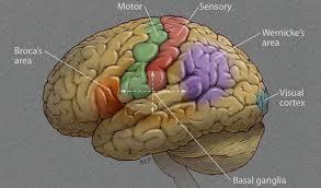 eloquent cortex diagram eloquent database wiring diagram schematics eloquent