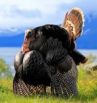 February of 2021 cpi went up in turkey. Our Eastern Wild Turkeys Are Raised The Old World Way With The Freedom To Fly All Over Our Farm In Perris California Yes I Do Not Clip Wings Of My Eastern Wild Turkeys