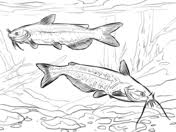 Small Picture Catfish coloring pages Free Coloring Pages