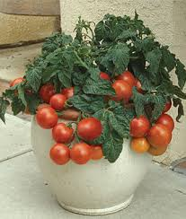 Best 25 Self Watering Pots Ideas On Pinterest  Self Watering Container Garden Plans Tomatoes