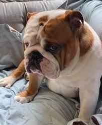 Bulldog Who Won the National Dog Show