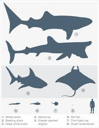 A Graphic Illustration Of Cartilaginous Fish Size Compared