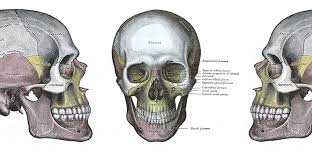 drawings of the human skull from gray s anatomy 1858
