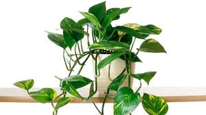 lovely common indoor house plants a z list of and scientific names dazzling common indoor house plants