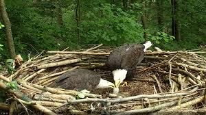 eagles nest size american eagle foundation bald eagles raise their 30th eaglet