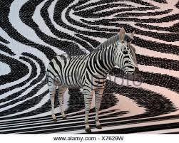 Zebra Patterns Magnificent 48d Zebra Patterns Stock Photo 48 Alamy