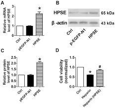 Effects of unfractionated heparin and rivaroxaban on the expression of  heparanase and fibroblast growth factor 2 in human osteoblasts