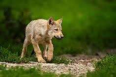 wolf puppies wallpaper. Fine Wallpaper Wolveswolves U201c Wolf Pup At Wildpark Bad Mergentheim By Stefan Betz U201d In Puppies Wallpaper I