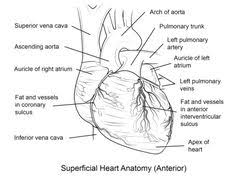 Small Picture H is for Heart Anatomical Free Valentines Day coloring pages