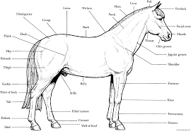 Horse Anatomy S16e4 Coloring Pages Printable Simple Horse Coloring