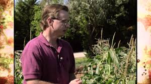 Corn Earworm Problems - YouTube
