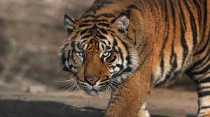 What Pattern Do Tigers Sport On Their Fur