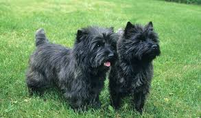 black cairn terrier mix.  Cairn Cairn Terrier Dog Breed On Black Mix