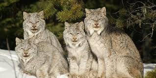 lynx size canada lynx basic facts about canada lynx defenders of wildlife