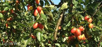Mediterranean Clonal Selections Evaluated For Modern Hedgerow Fruit Tree Hedgerow