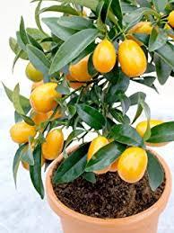 How To Grow Your Own Kumquats  YouTubeKumquat Tree Not Bearing Fruit