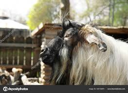 cute funny goat in zoological garden closeup photo by belchonock
