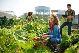 community gardening. Friendly Team Harvesting Fresh Vegetables From The Rooftop Greenhouse Garden Community Gardening M
