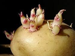 Картофель Википедия Клубень картофеля solanum tuberosum с развивающимися из пазушных почек молодыми боковыми побегами модифицированный подземный побег растения