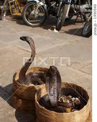 桶に入るコブラ