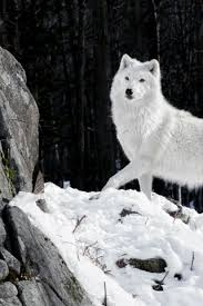 white wolf iphone wallpaper. Perfect White White Wolf Majestic Winter Rock Snow Inside Wolf Iphone Wallpaper