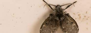 drain fly control and prevention
