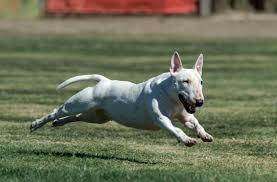 miniature bull terrier. Fine Miniature Miniature Bull Terrier Club Of America For L