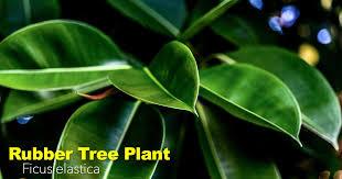 rubber tree plant care ficus elastica