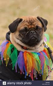 Gay pug groups nc