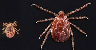 Cdc Tick Identification Chart Ticks In Virginia What They Look Like Types Diseases They