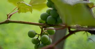i am the vine you are the braches
