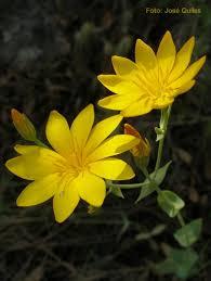 Blackstonia grandiflora