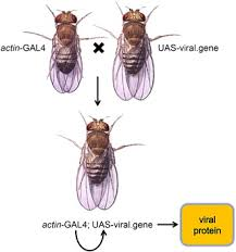 drosophila as a genetic model for studying pathogenic human   high res image 207kb
