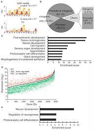 Genomic Analyses Of Gaf Target Genes And Gaf Mutation On