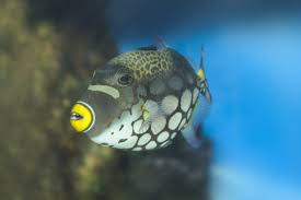 clown triggerfish. Interesting Triggerfish Clown Triggerfish Live In Tropical Waters And Triggerfish E
