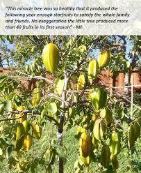Starfruit Carambola Tree