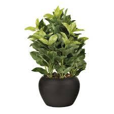 office plants for sale. Brilliant Plants Quick View Intended Office Plants For Sale