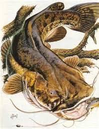 flathead catfish wallpaper. Wonderful Catfish Flathead Catfish Printneed Inspiration For A Painting And Wallpaper E
