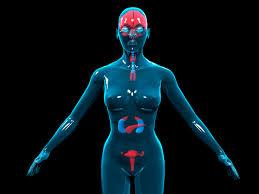 Image result for endocrine system images