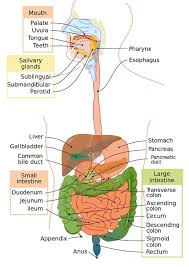 Digestive System Definition Function And Organs Biology