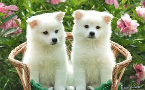 cute puppies desktop wallpapers hd wallpapers inn