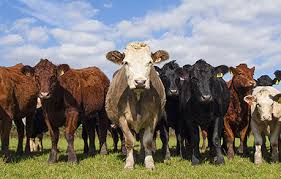 Feeder Cattle Index Chart Cash Settled Commodity Index Prices