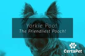 yorkie poo the friendliest pooch