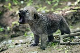 baby wolf. Exellent Wolf Baby Wolf Howling To G