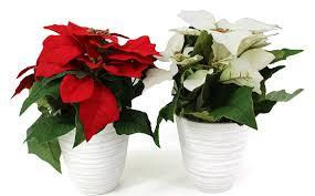 Artfleur 2er Set Künstlicher Weihnachtsstern Poinsettia Poinsettie Adventsstern Christstern 25 Cm Farben Mix Blühpflanze Kunstpflanze