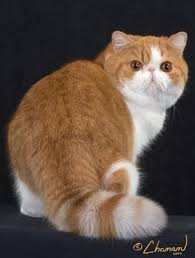 exotic shorthair orange and white. Contemporary Exotic Inside Exotic Shorthair Orange And White 0
