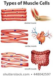 Smooth Muscle Images Stock Photos Vectors Shutterstock
