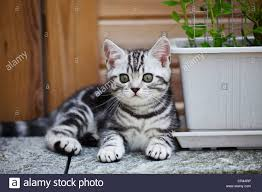 little silver tabby british shorthair kitten in the garden stock image