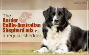Characteristics Of The Australian Shepherd Border Collie Mix